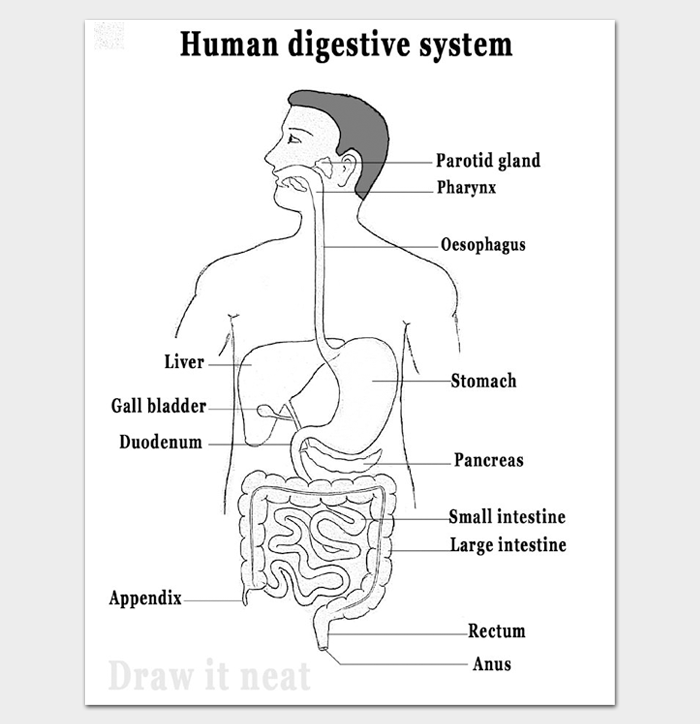 Body Outline with Organs of Digestive System