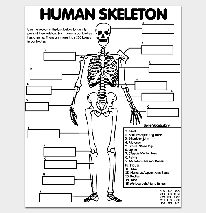 Human Skeleton Outline Wordksheet for Kids