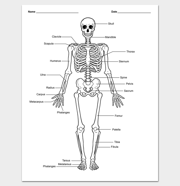 Skeleton Body Outline Template